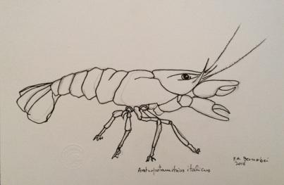 austropotamobius-italicus-2015-inchiostro-su-carta